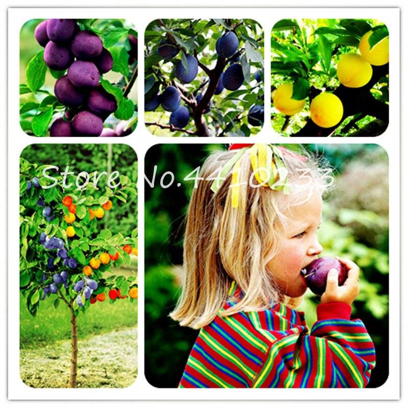 Высокое качество бонсай Семья Brin Prunus Бонсай Декоративные сладкие фрукты алычи кустарник дерево завод, широко культивируется 10 шт.