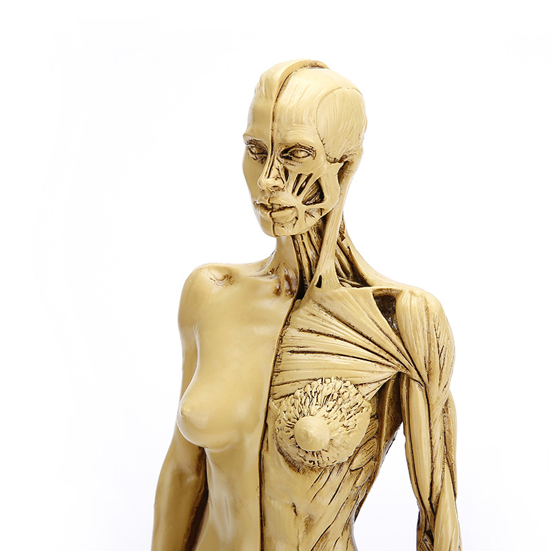 Precision Natural Resin Human Model Handicraft Female Body Muscle Model Medical Teaching Appliance Skeleton