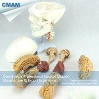12327/Анатомия черепного нерва пластиковая модель черепа с мозгом, медицинская научная образовательная учебная анатомическая модель