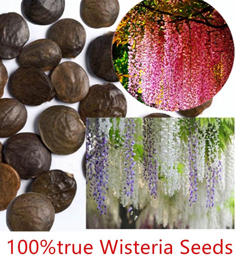 Семена глицинии