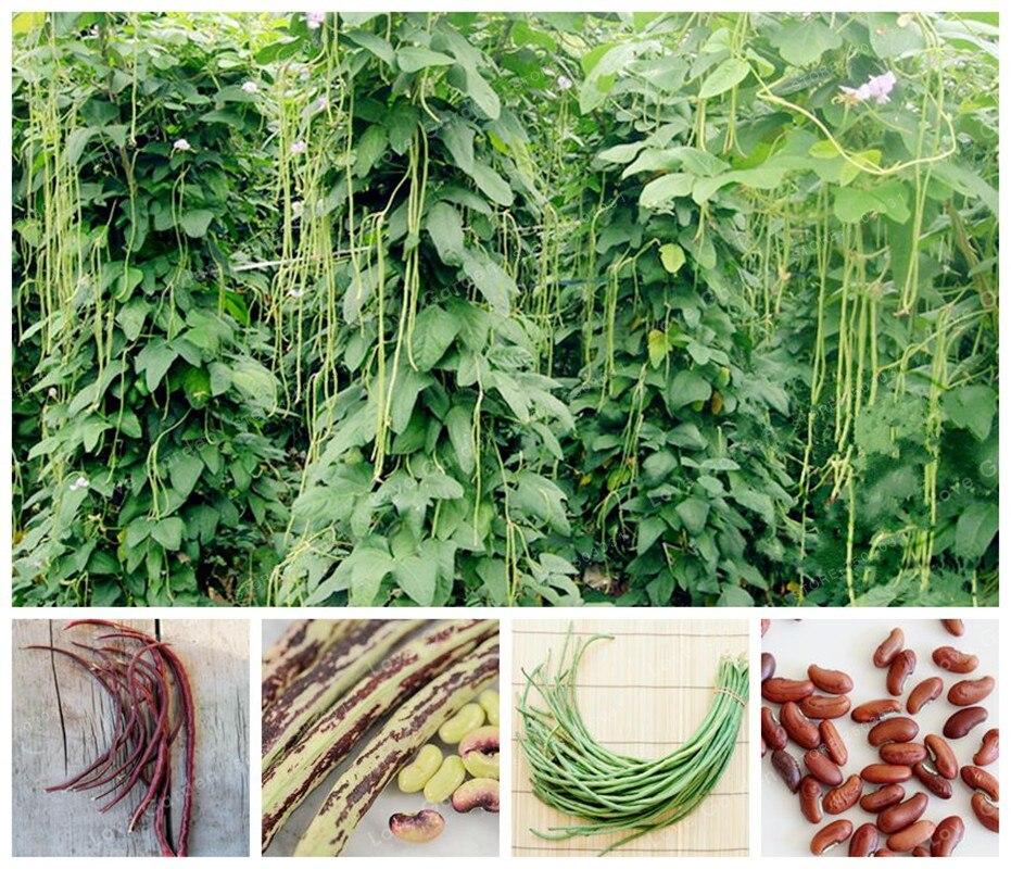 Sale Chinese Long Vigna Unguiculata Bonsai Nutrition And Delicious Rare Purple Yard Long Bean Vegetable Bonsai Garden 20PCS