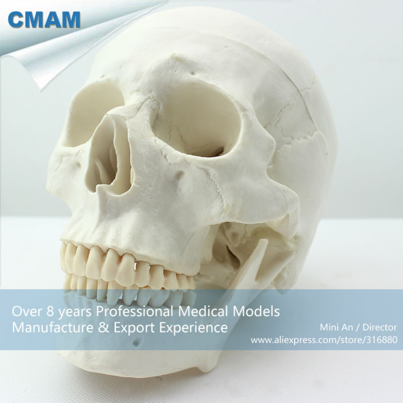 12328 CMAM-SKULL02 Life size Premium Asia Classic Human Skull Model for Medical Science medical science colored muscle origins and insertions in half head life size plastic skull model