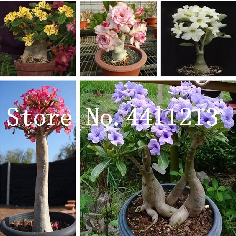 100% True Desert Rose bonsai Ornamental Plants Balcony Bonsai Potted Flowers bonsai Adenium Obesum bonsai - 1 Particles / Lot fonksiyonlu rende