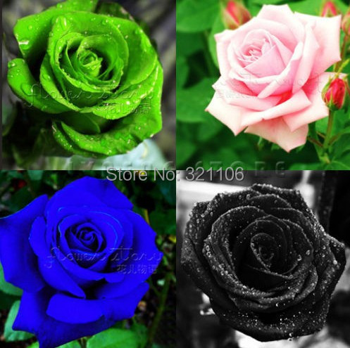 4 kinds of combinations of pink roses green blue black for Green colour rose images