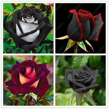 100 pcs/bag rare rose seeds Black Rose Flower with Red Edge bonsai flower seeds For home garden flowers seeds plant pot