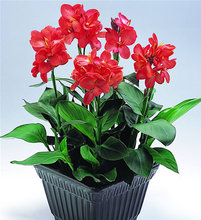 5 seeds/pack Rare Flower The Double Color Canna Seeds, Height 100-150cm, Flower dia 20cm India Shot flower seeds for garden