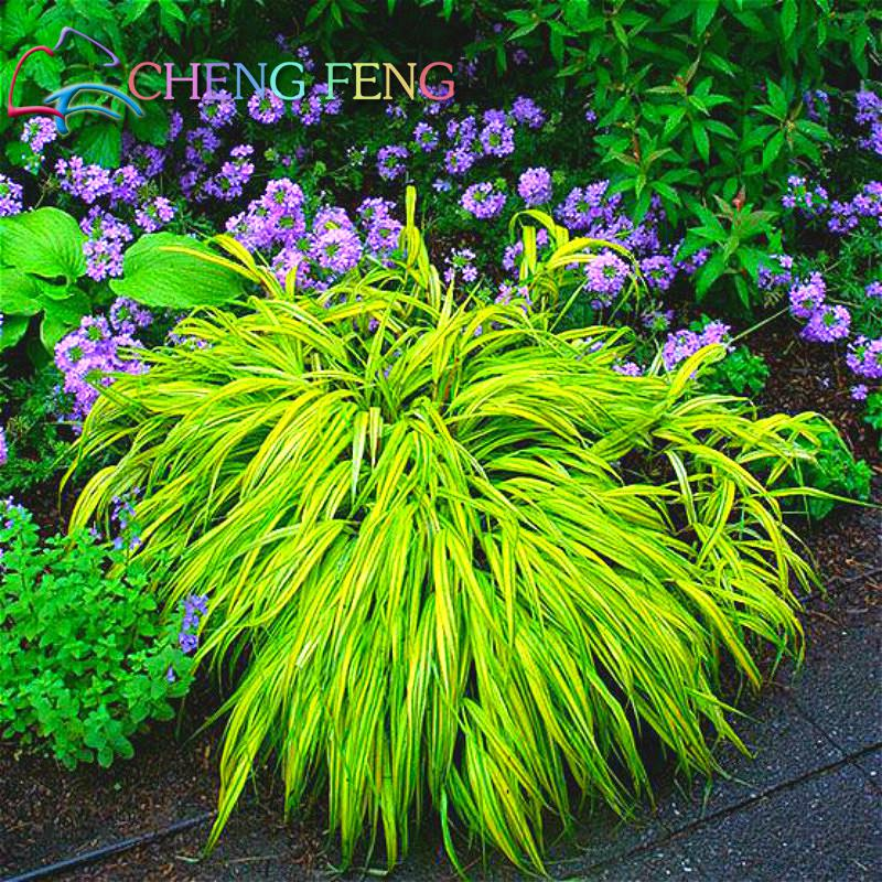 Annual Ornamental Grasses 100pcs green blue fescue grass seeds chinese perennial hardy 100pcs green blue fescue grass seeds chinese perennial hardy ornamental grass so easy to grow seed 2016 mini plants for garden in bonsai from home garden workwithnaturefo