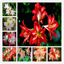 Free Shipping 100 pcs/bag True Amaryllis Flower Not Bulbs Bonsai Flower Hippeastrum for Home & Garden Barbados Lily Flower Pot(China)