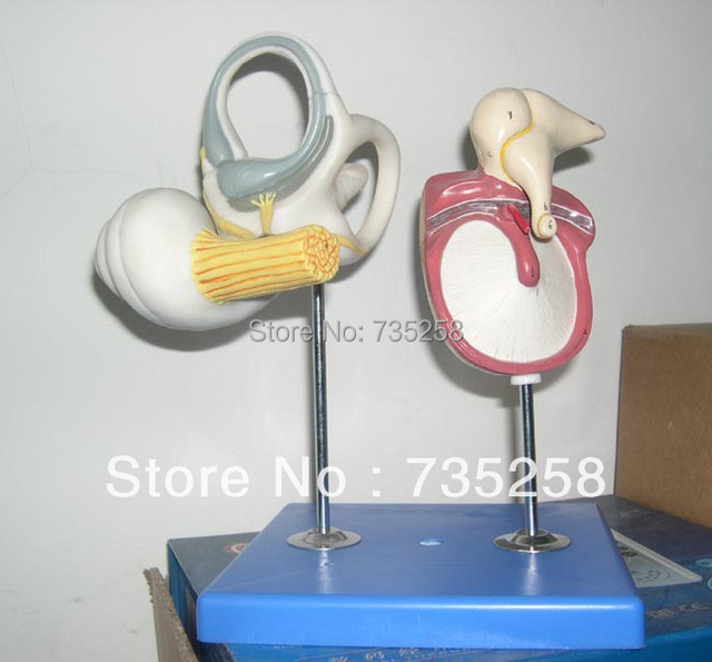 Inner Ear Auditory Ossicle And Tympanic Membrane Model In Medical