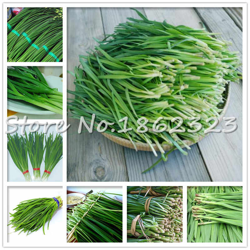 500 pcs Chinese Chives Everygreen Non - GMO อร่อย Juicy Leek ผักสวนสำหรับดอกไม้หม้อ Planters the Budding rate 97%