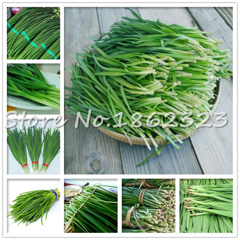 500 Pcs Chinese Chives Everygreen Non-GMO Tasty Juicy Leek Vegetable Garden Plant For Flower Pot Planters The Budding Rate 97%