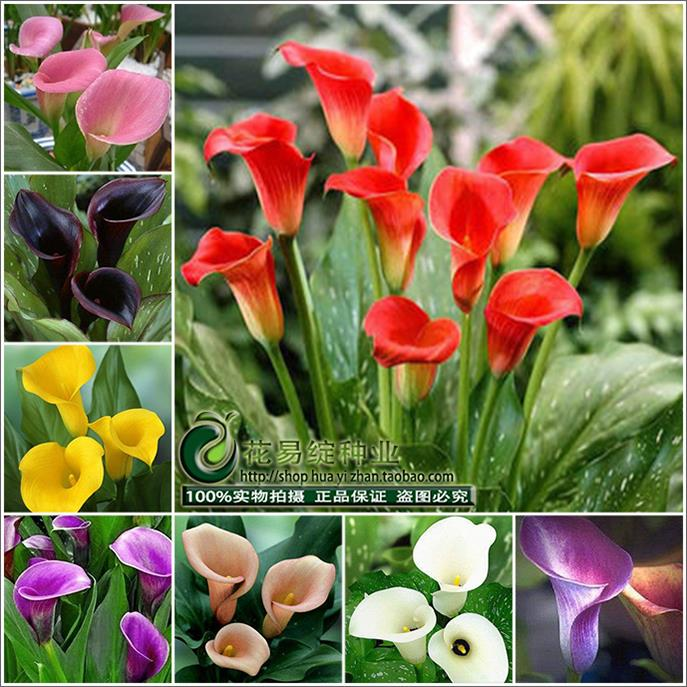 Us 0 16 55 Off Calla Lily Flower Bonsai Spring And Winter Seasons Set An Indoor Potted Plant Grass Bonsai Planting Live 10pcs In Bonsai From Home