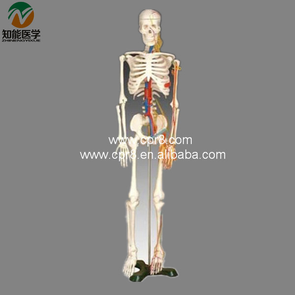 Human Skeleton Model With Heart And Vessels  85CM   BIX-A1005  MQ045 bix a1005 human skeleton model with heart and vessels model 85cm wbw394