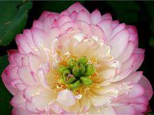 2 seeds / pack, Luoyang Peonies Lotus Pink Nelumbo Nucifera DIY