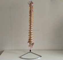 1:1 Model of Human Spine ,Spine Simulation Model ,Intervertebral Disc Model