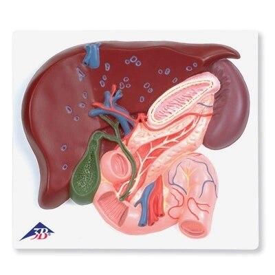 Hígado vesícula biliar páncreas y duodeno conducto biliar humano ...