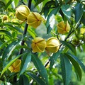 The Pecan seeds Walnut seed Tree fruit seed year results 1 Seed / Pack