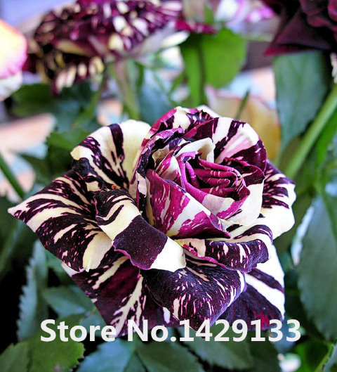 Aliexpress Rare Flowers Seeds 200pcs Strip Shrub Rose Home Gardens Bonsai Exotic Plant Of Perennial Garden Flower Free Shipping From