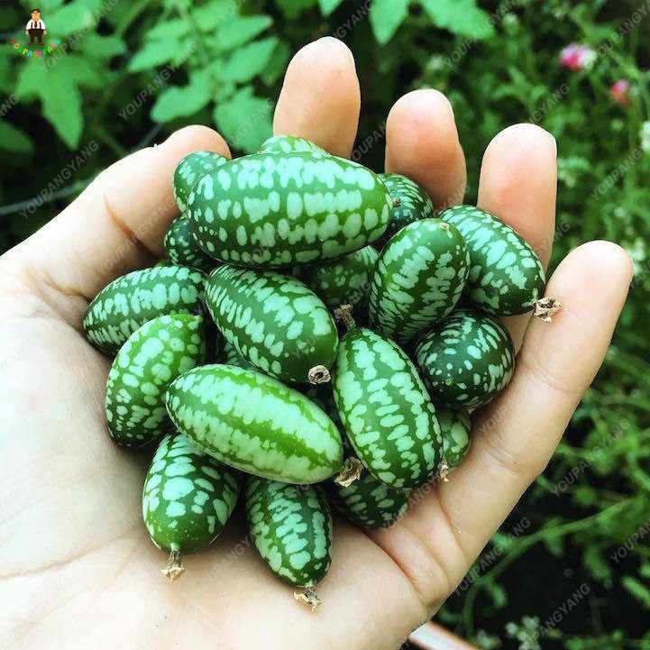 20 قطعة الإبهام البطيخ النباتات الفاكهة فلوريس الحلو البطيخ صغيرة سهلة النمو بونساي ل ديكور حديقة المنزل