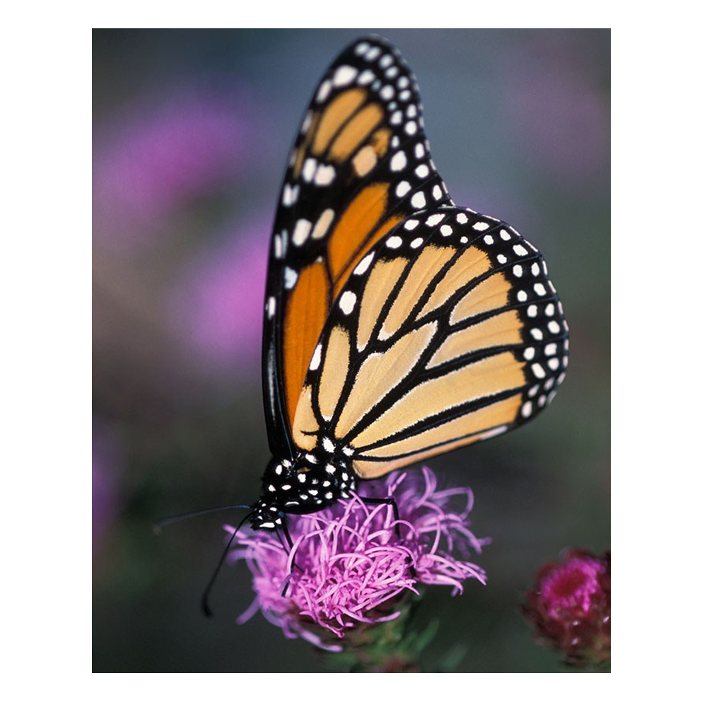 Pictures of monarch butterflies for coloring - Diamond Embroidery Painting Set New Monarch Butterfly Full Cross Stitch Rhinestone Mosaic Crafts Painting N686