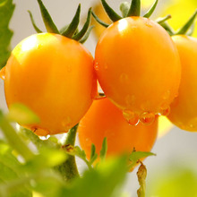 100 Pcs/pack Yellow Tomato Seeds Tomatoes Potted Bonsai Plant Seeds Garden Decoration Bonsai Flower Seeds