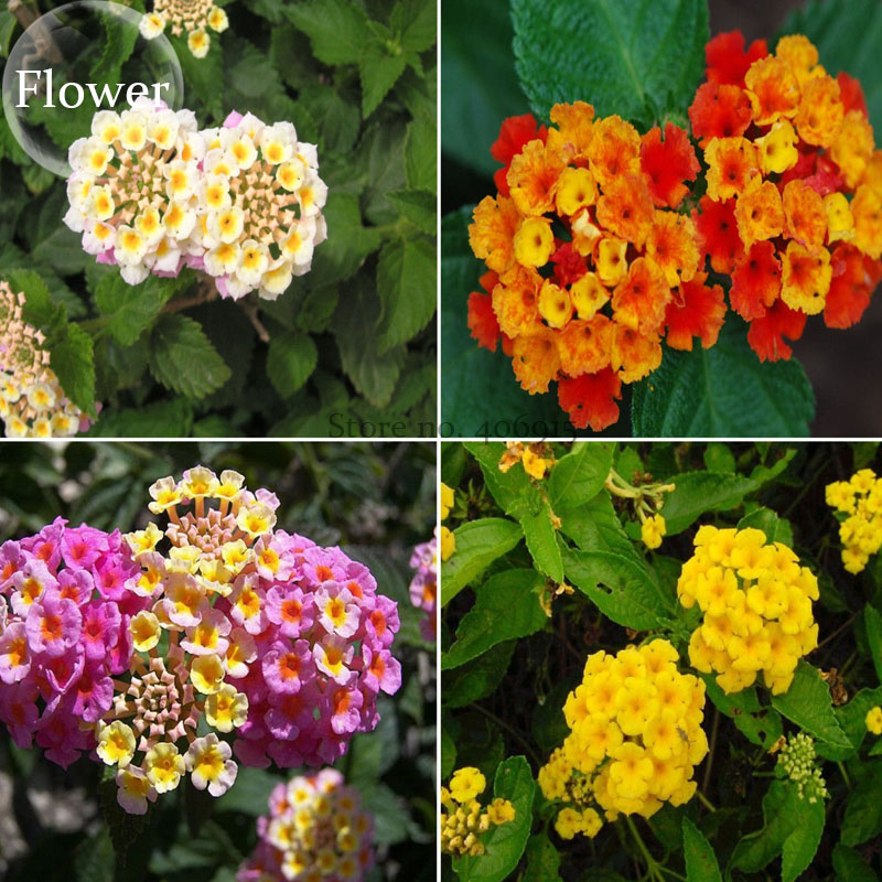 Bellfarm bonsai mixed colorful lantana camara perennial garden white bellfarm bonsai mixed colorful lantana camara perennial garden white yellow pink orange flowers high germination 15pcspack in bonsai from home garden on mightylinksfo