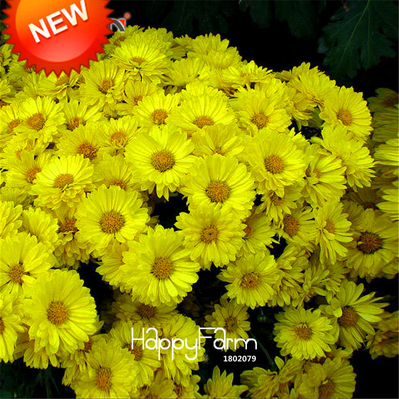 Hot Sale!100 Seed/pack Yellow Callistephus Chinensis Flower Seeds Balcony Potted Bonsai Flower Aster Seed,#V1UFT5