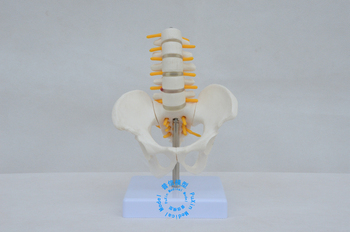 Free shipping&The five segment lumbar spine model, minor pelvis model and lumbar spine spine model(without thigh-bone) фото