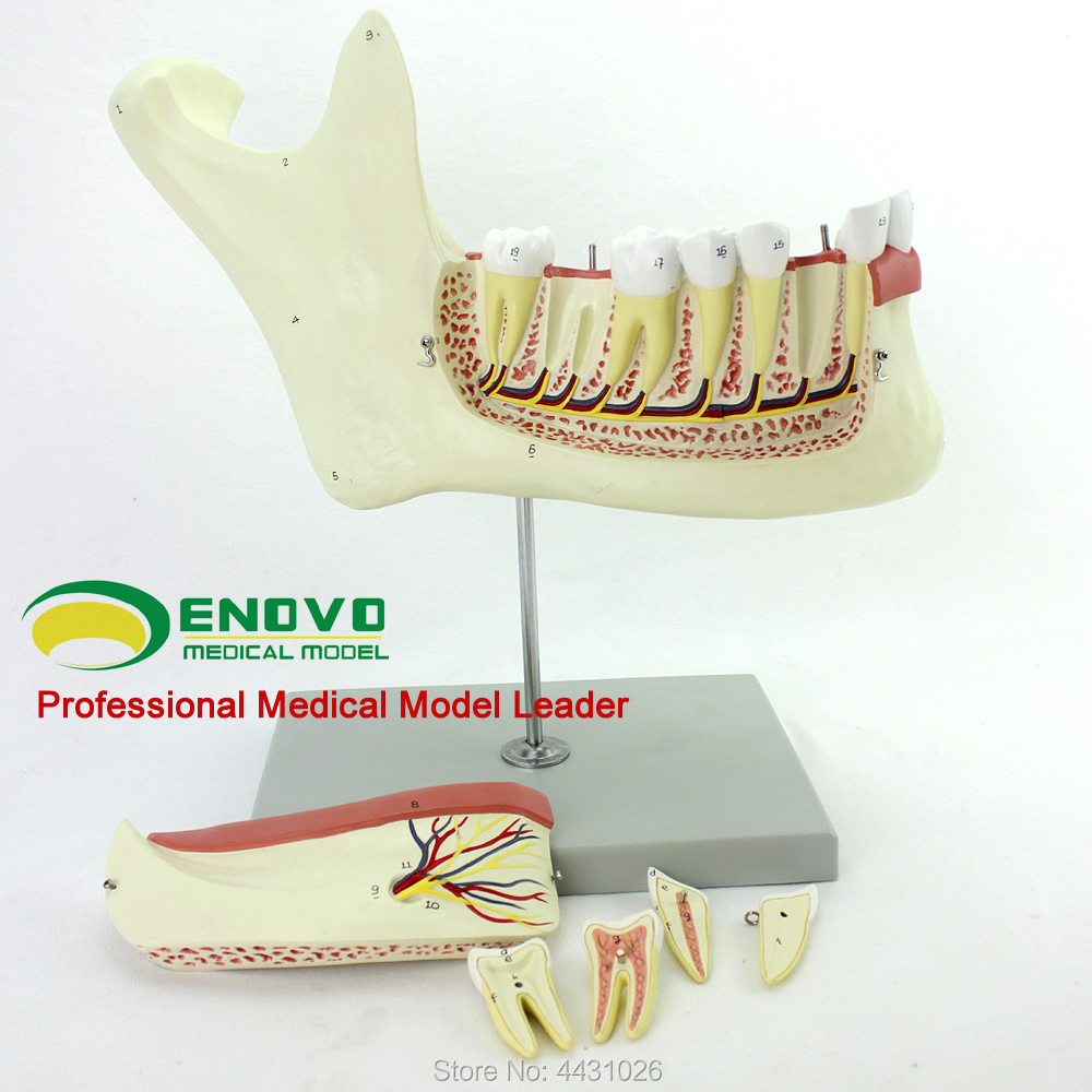 ENOVO Anatomy model of mandible anatomy model of mandible anatomy model