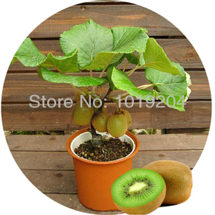 malaysia mini kiwi obst bonsai pflanzen k stliche kiwi samen tasche 200 samen und kleine obst. Black Bedroom Furniture Sets. Home Design Ideas