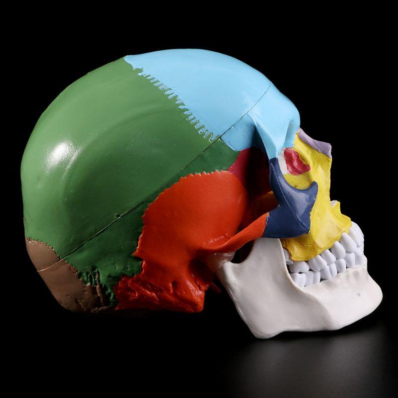 Ofis ve Okul Malzemeleri'ten Tıbbi Bilim'de Yaşam boyutu renkli İnsan kafatası modeli anatomik anatomi tıbbi öğretim İskelet kafa eğitim öğretim malzemeleri