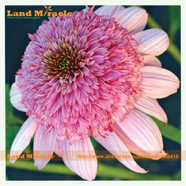 Heirloom puff vanilla pink coneflower flower plant seeds 100 heirloom puff vanilla pink coneflower flower plant seeds 100 seeds fresh echinacea mightylinksfo