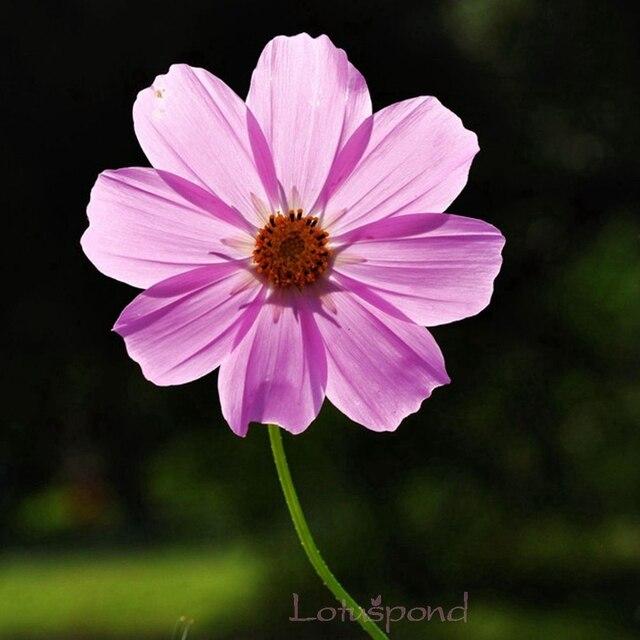 1 pack 50 color de rosa semillas de flores cosmos bipinnatus
