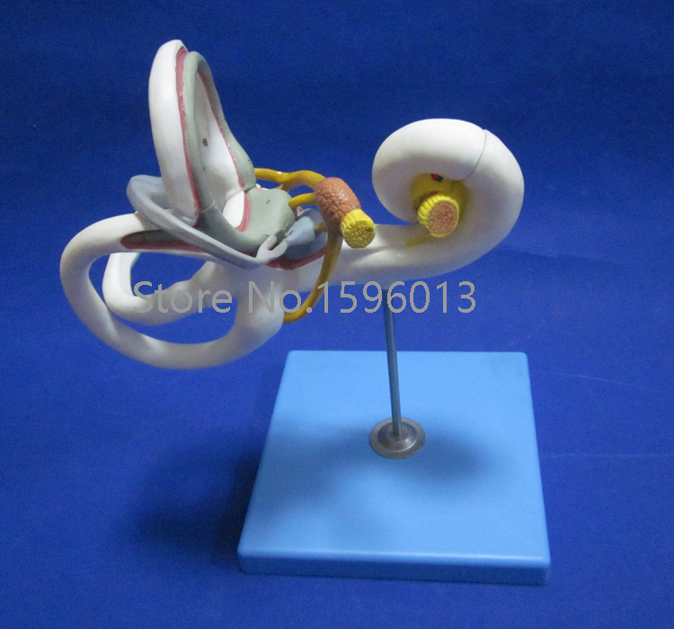 HOT Labyrinth Model, Inner Ear,Vestibular Enlargement model, Ear Anatomical Model, Ear Structure Model iso new style giant ear model anatomical ear model