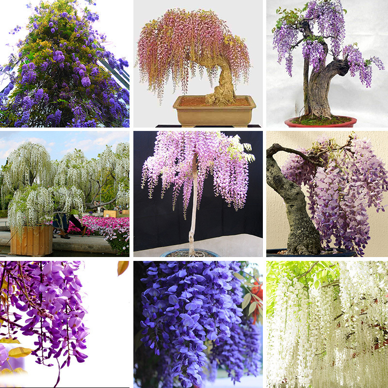Hot Sale Unique Five Different Rare Mini Bonsai Wisteria Tree Seed Indoor Ornamental home garden Plants Seeds 15PCS Flower Seeds