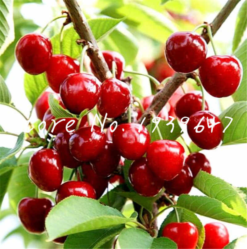 20 pcs Cherry Bonsai Fruit Bonsai Sweet Sylvia Upright Cherry Self-Fertile Dwarf Tree Bonsai Plant Pot Home Garden Potted