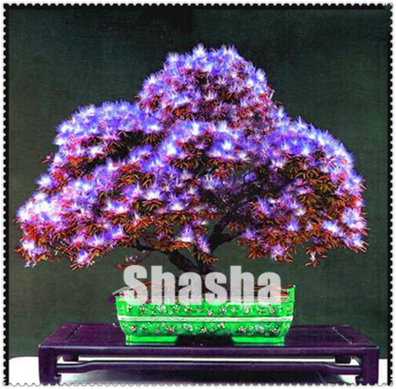 10 Pcsbag Acacia Tree Bonsai Albizia Julibrissin Bonsai Flower