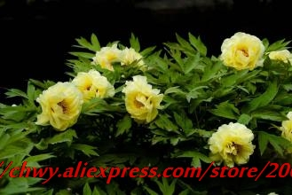 Professional pack 5 pcs pack yellow chinese tree peony bonsais professional pack 5 pcs pack yellow chinese tree peony bonsais china peony yaos yellow yao huang in bonsai from home garden on aliexpress mightylinksfo