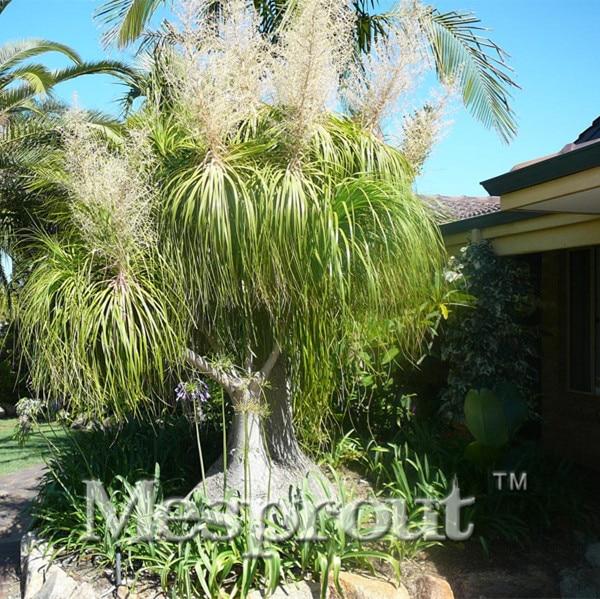 10pcs beaucarnea recurvata coconut koreana seed flower - Plantas de exterior resistentes al sol ...