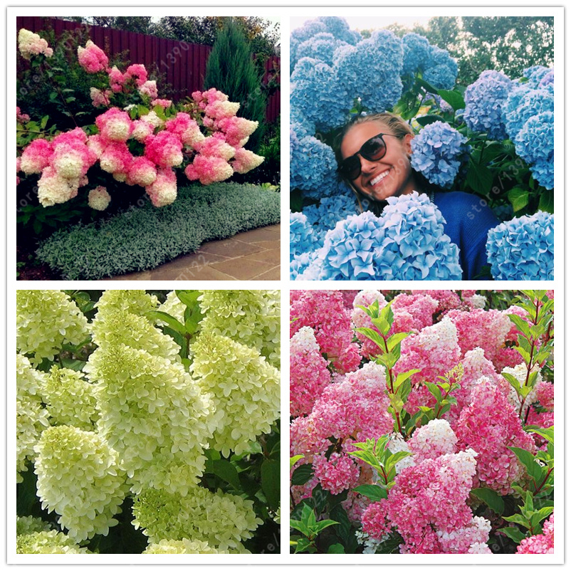 20 pcs bag Hydrangea Paniculata vanilla Fraise strawberry hydrangea seed bonsai flower seeds potted plant for home garden