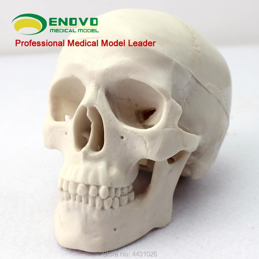 ENOVO Mini modello del cranio medico di arte del corpo umano dellosso del cranio scheletro modelloENOVO Mini modello del cranio medico di arte del corpo umano dellosso del cranio scheletro modello