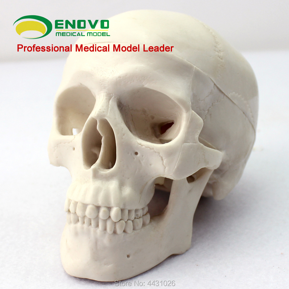 ENOVO Mini Skull Model Medical Art Human Body Skull Bone Skeleton Model
