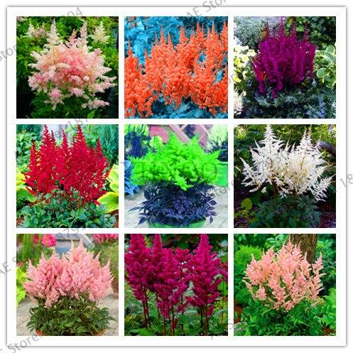 Самая низкая цена! 9 доступных цветов категории астильбе Chinensis бонсай Балконный сад в горшках китайский астильбе цветок завод в упаковке 100
