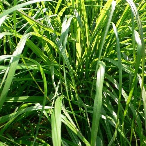New 50pcs Lemongrass Herb Lemon Grass Cymbopogon Flexuosus Seeds Fresh Rich Aroma Garden Decoration