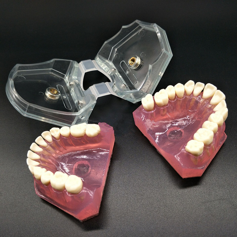 Image 2 - Dental Study Teaching Model Standard Model Removable Teeth Soft Gum ADULT TYPODONT Model-in Teeth Whitening from Beauty & Health
