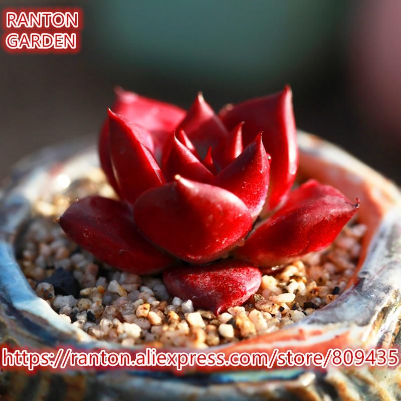 ECHEVERIA agavoides v Romeo Rubin Succulents Fleshy Seeds 20Pcs per pack dark red rare beautiful flower seeds