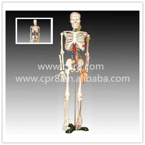 BIX-A1005 Human Skeleton Model With Heart And Vessels Model (85CM) G163 bix a1005 human skeleton model with heart and vessels model 85cm wbw394