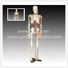 BIX-A1005 Human Skeleton Model With Heart And Vessels Model (85CM) G163