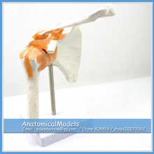 ED-JOINT07 Life Size Shoulder Joint Anatomical Model Skeleton,  Medical Science Educational Teaching Anatomical Models