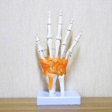 Анатомический скелет для рук человека с кожей модель медицинская наука здоровье жизнь Полезная медицинская наука для обучения принадлежности